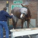 Morning bath at the receiving barn