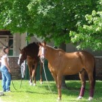 Derby winner Animal Kingdom on backside