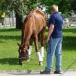 Derby winner Animal Kingdom grazing