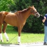 Derby winner Animal Kingdom back to barn